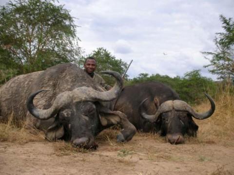 Kaffernbüffel erfolgreich bejagd in Tansania - Interhunt - jagen weltweit