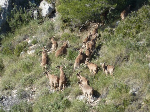 Barbary Schaf Herde in Spanien - Interhunt - jagen weltweit