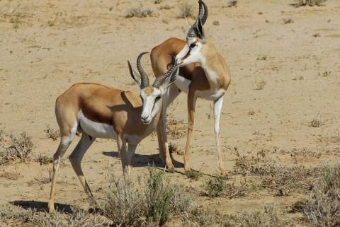 Jagd auf Spring bock in Namibia - Interhunt - jagen weltweit