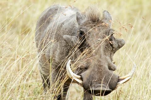 Jagd auf Warzenschwein in Namibia - Interhunt - jagen weltweit