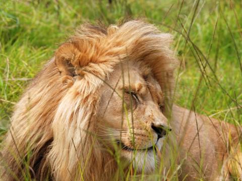 Jagd auf Löwe in Tansania - Interhunt - jagen weltweit