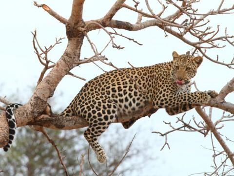Jagd auf Leopard in Tansania - Interhunt - jagen weltweit