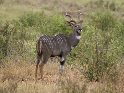 Jagd auf Lesser Kudu in Tansania - Interhunt - jagen weltweit