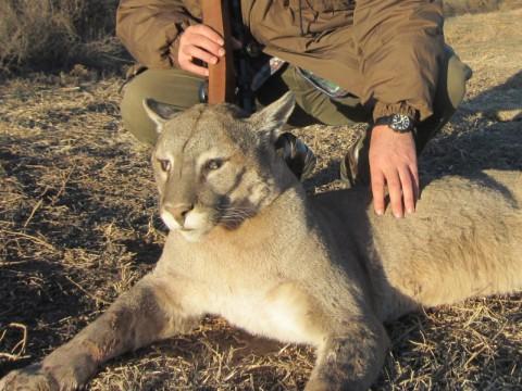 Jagd auf Puma in Argentinien - Interhunt - jagen weltweit