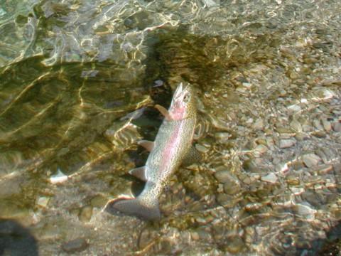 Regenbogenforelle aus der Ybbs - Interhunt - Fliegenfischen