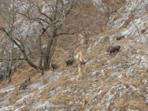 Steinböcke in der Brunft in Österreich - Interhunt - jagen weltweit