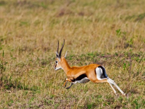 Hunt on Thomson gazelle in Tanzania - Interhunt - wordwide hunting