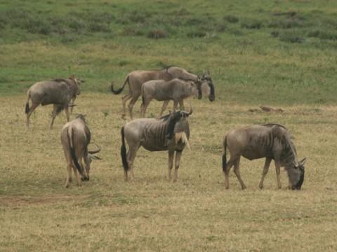 Gruppe von Wildebeest Tansania - Interhunt - jagen weltweit