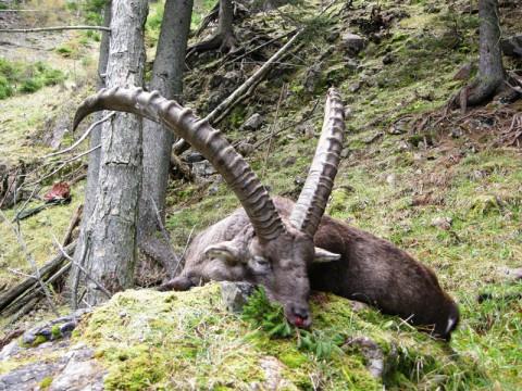 Steinbockjagd in Österreich - Interhunt - jagen weltweit