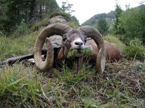 Jagd auf Muffelwidder in Österreich