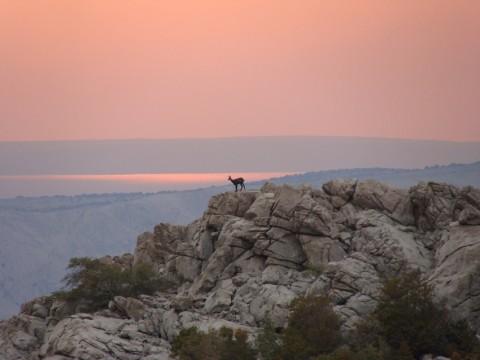 Auf Gams Jagd in Kroatien - Interhunt - jagen weltweit