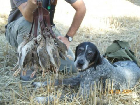 Erfolgreiche Wachteljagd mit Hunden in Kroatien - Interhunt - jagen weltweit
