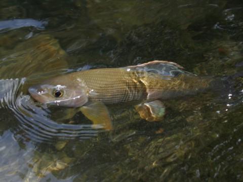 Äsche beim Biss - Intehunt - Fliegenfischen