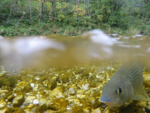 Äsche in der Ybbs - Interhunt - Fliegenfischen