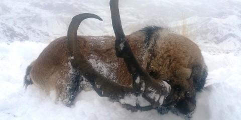 Bezoar Steinbock Jagd in der Türkei - Interhunt - jagen weltweit